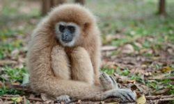 Гиббоны: что это за обезьяны?