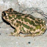 Зеленая жаба: описание, места обитания, образ жизни