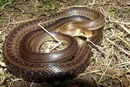 Эскулапов полоз - легендарная змея