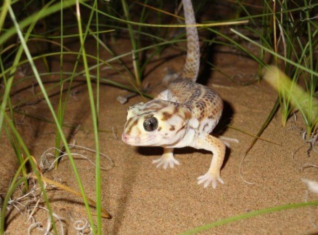 Как выглядит сцинковый геккон