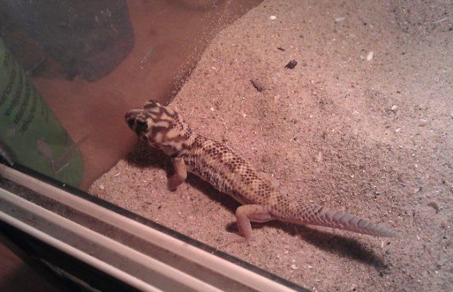 Содержание сцинкового геккона