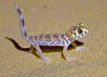 Сцинковый геккон