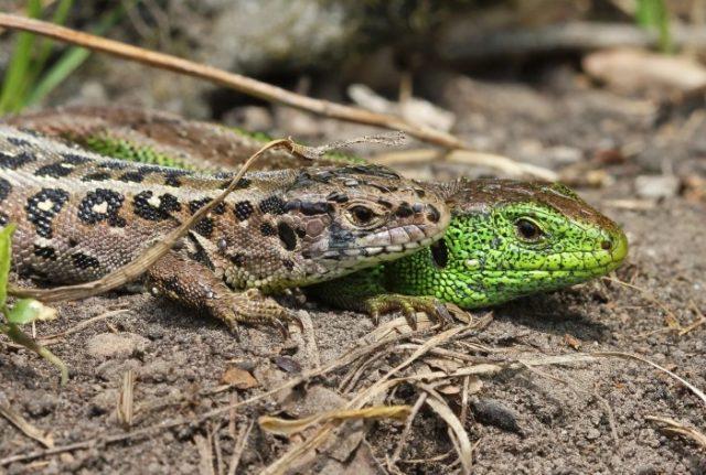 Самец и самка прыткой ящерицы