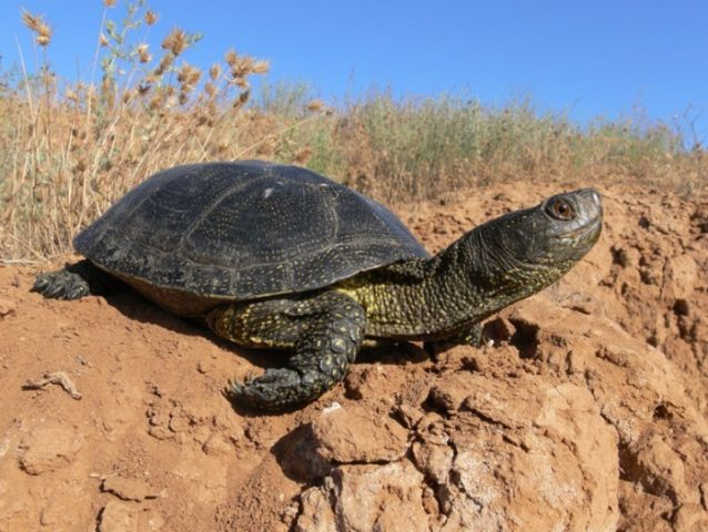 Болотная черепаха греется на солнце