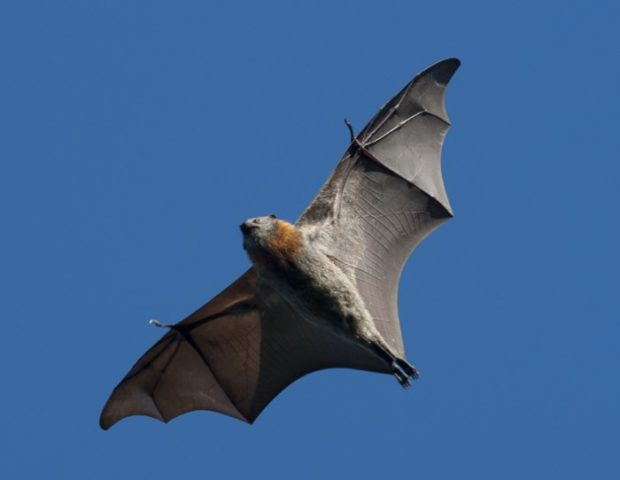 Мешкокрылая летучая мышь