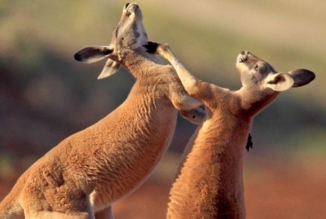 Самое крупное сумчатое - рыжий кенгуру