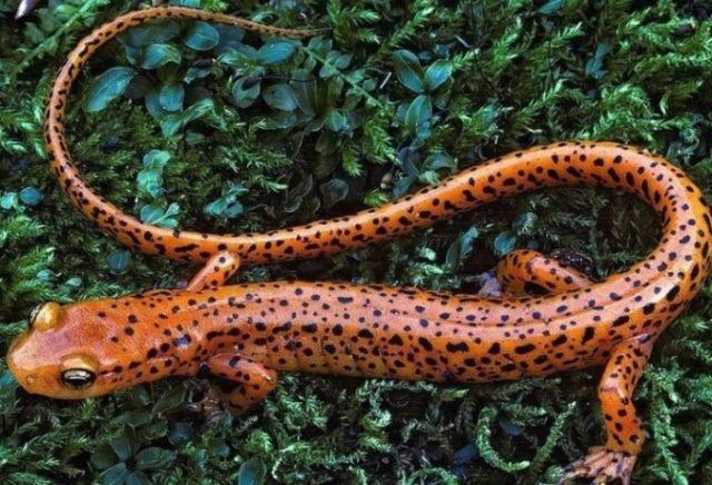 Земноводное - саламандра