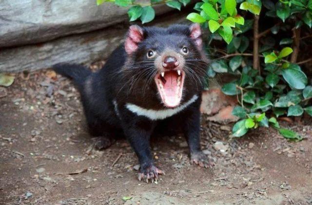 Так выглядит тасманийский дьявол