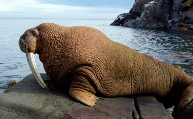 Как выггядит атлантический морж