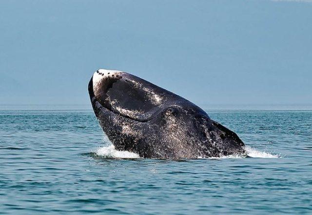 Как выглядит гренландский кит