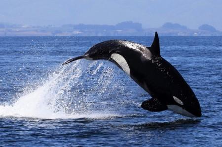 Косатка - хищный дельфин