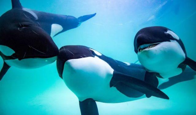 Как выглядят хищные дельфины косатки
