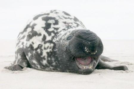 Хохлач - что это за тюлень?