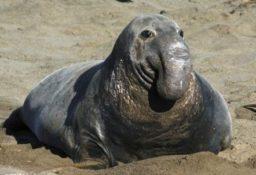 Морские слоны: виды, фото, описание, образ жизни
