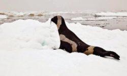 Полосатый тюлень (крылатка)