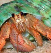 Рак-отшельник: жилище рака, взаимовыгодный союз с актиниями