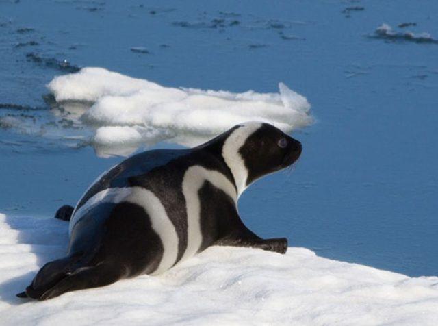 Как выглядит полосатый тюлень