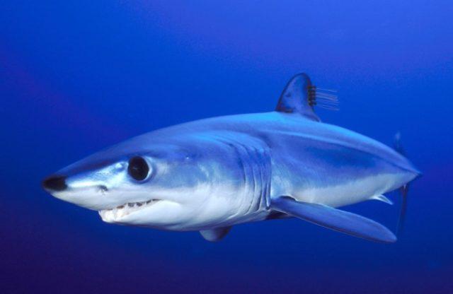 Так выглядит акула-мако