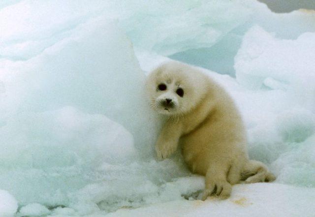 детеныш каспийского тюленя