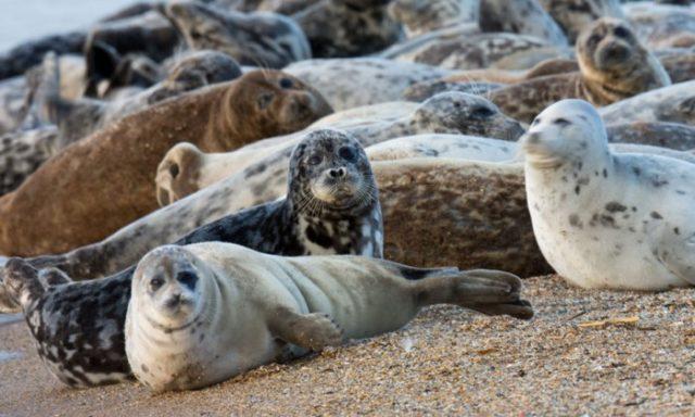 Как выглядит каспийский тюлень