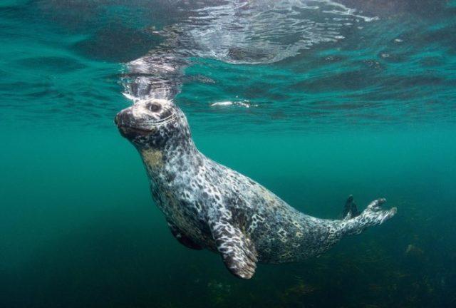Описание островного тюленя (антура)