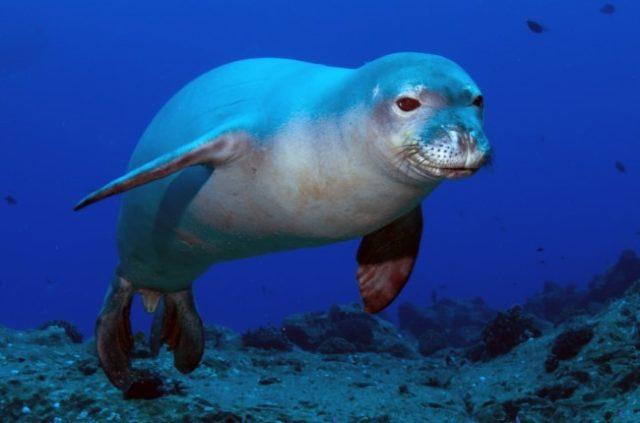 Как выглядит гавайский тюлень монах