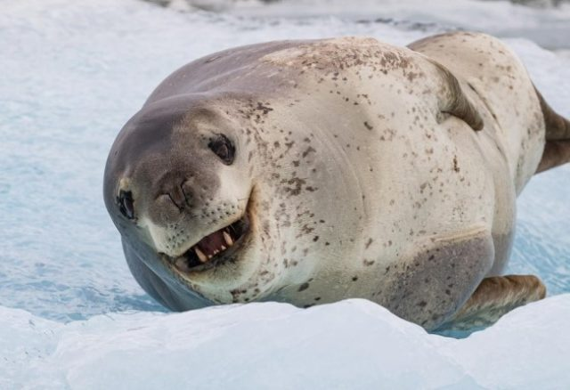 Морской леопард - что это за животное