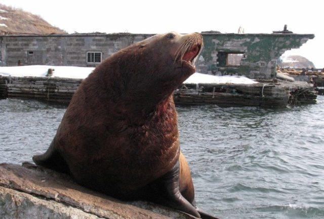 Как выглядит морской лев Стеллера (сивуч)