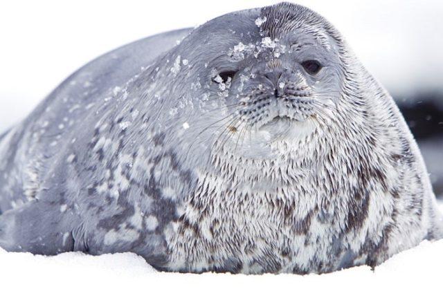 Тюлень Уэделла