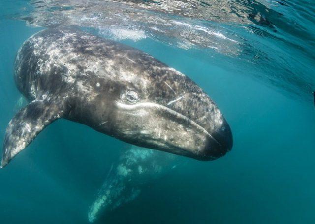 Как выглядит серый калифорнийский кит
