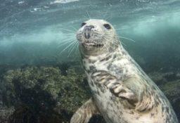 Почему тюлени могут долго находиться под водой?
