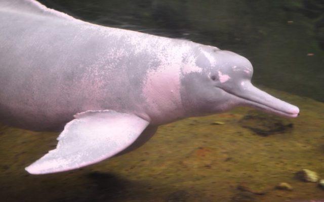 Амазонский речной дельфин