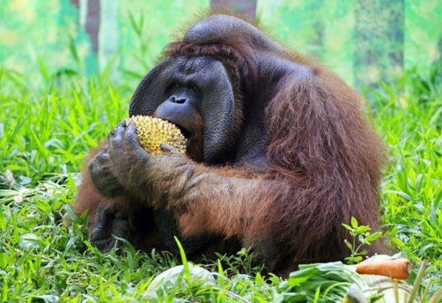 Чем питаются орангутаны