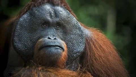Описание обезьяны органгутан
