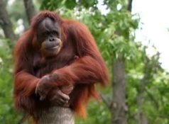 Орангутан – самая крупная древесная обезьяна