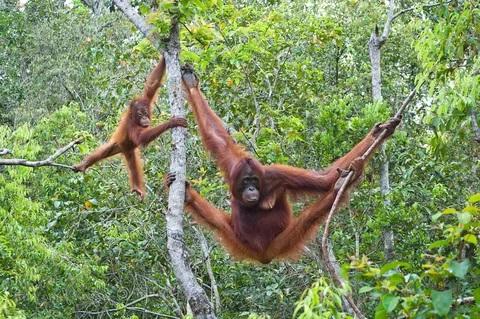 Орангутаны находятся под угрозой исчезновения