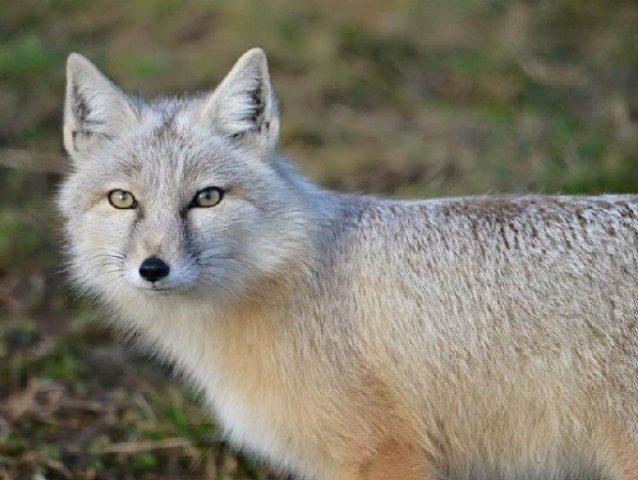 Описание степной лисицы