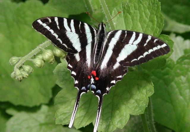 Зебровый парусник бабочка