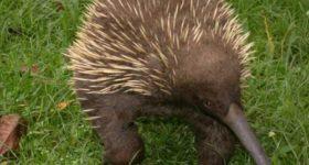 Ехидна: удивительное австралийское животное