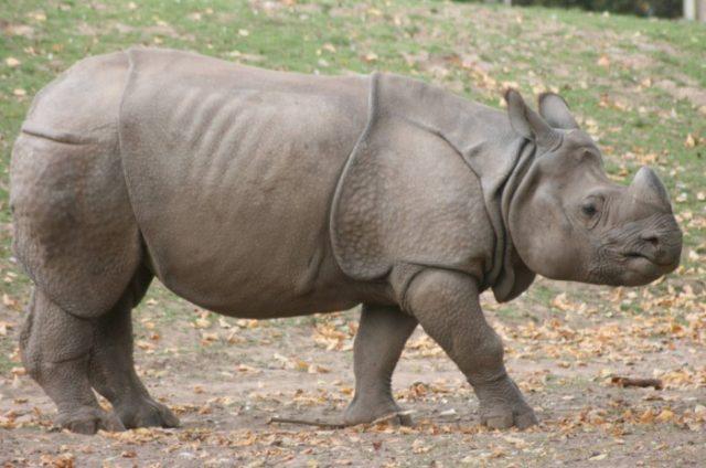 Как выглядит яванский носорог
