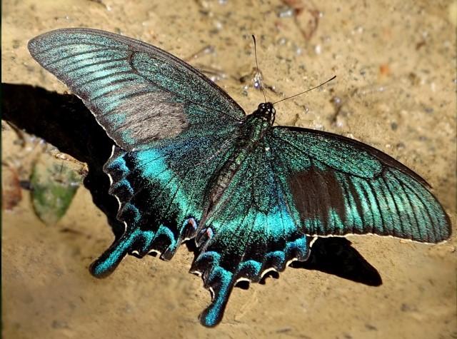 Красивая бабочка - Парусник Маака
