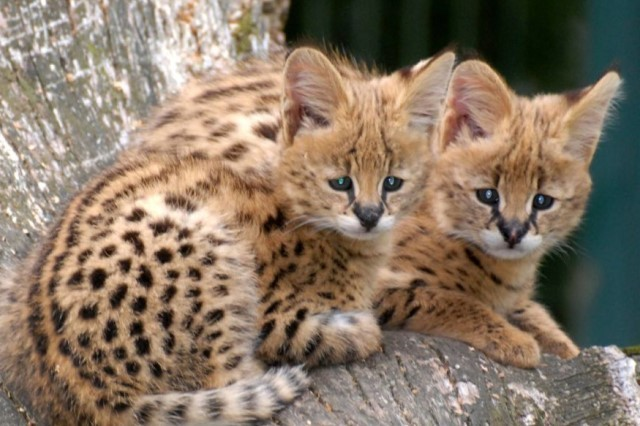 Два котенка сервала