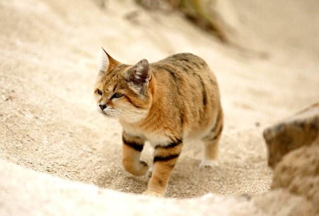 Барханный кот в пустыне