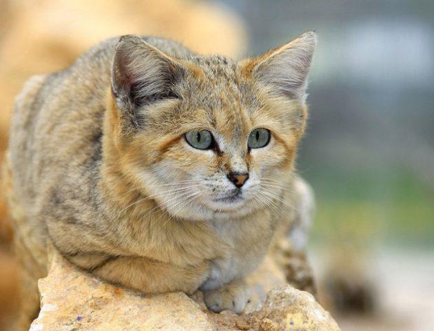 Как выглядит барханный (песчаный) кот