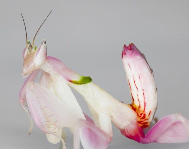 Описание орхидейного богомола