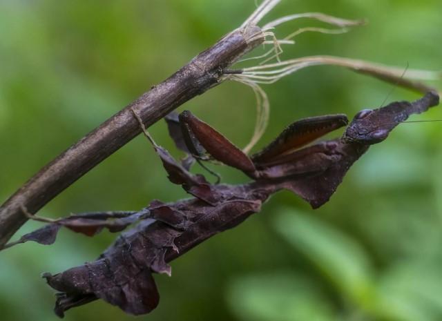 Богомол-призрак похож на мертвый лист
