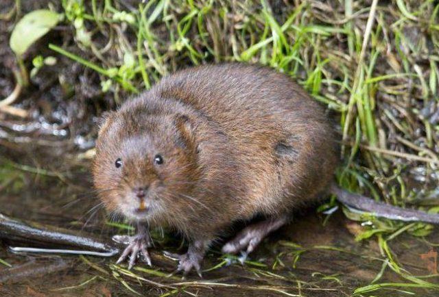 Как выглядит водяная крыса (полевка)