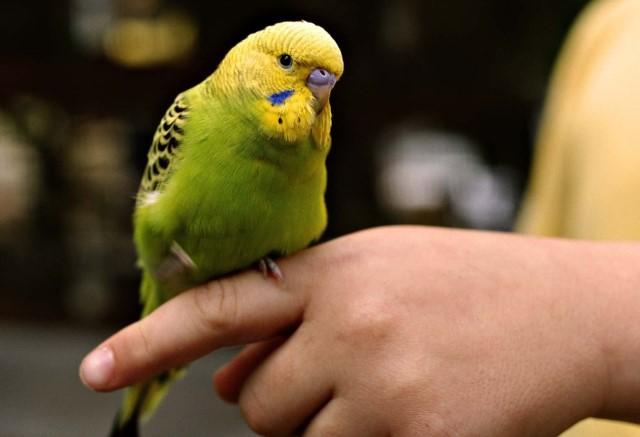 Как приручить попугая к рукам