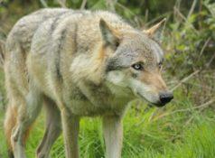Волк: как выглядит, где живет, иерархия в стае, волчий вой