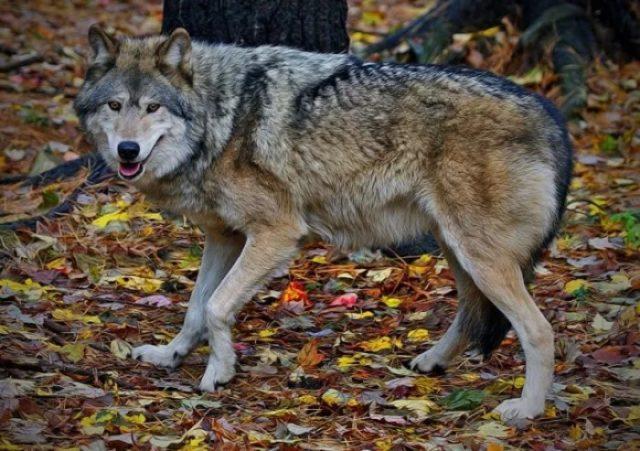 Евразийский степной волк